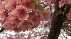 十日市場の桜